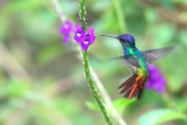 1t_peru-kolibri