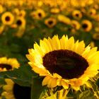 flower_sm