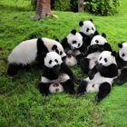 panda_sm