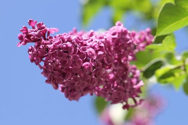 flowerfest_lilac1
