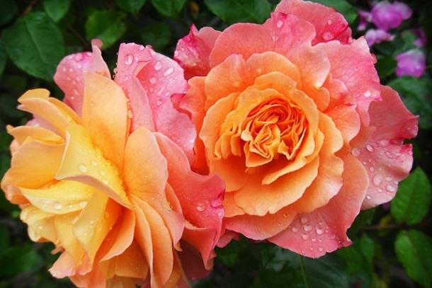flowerfest_roses